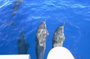 Dolphins play in the bow wake of Mistic