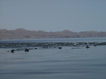 big-dolphin-pod-sea-of-cortez