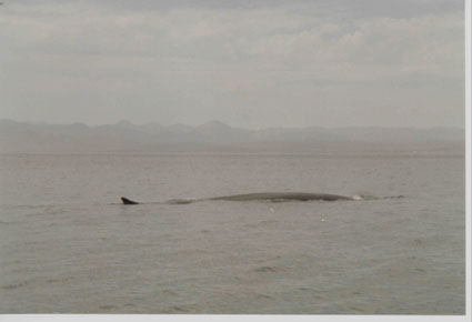 fin-whale-sea-of-cortez